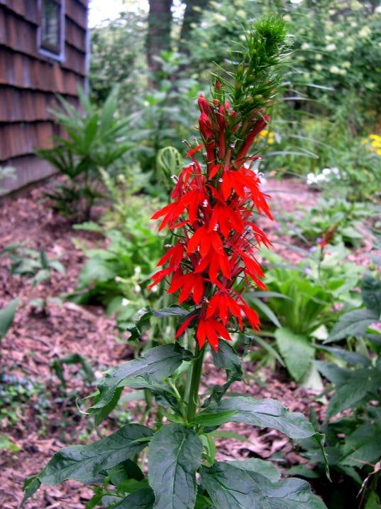 cardinal flower (2).jpg