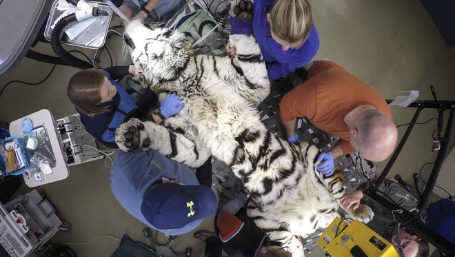 The staff at the Louisville Zoo gives Vikentii, a 7-year-old Siberian tiger, a checkup and a dental exam.February 15, 2017