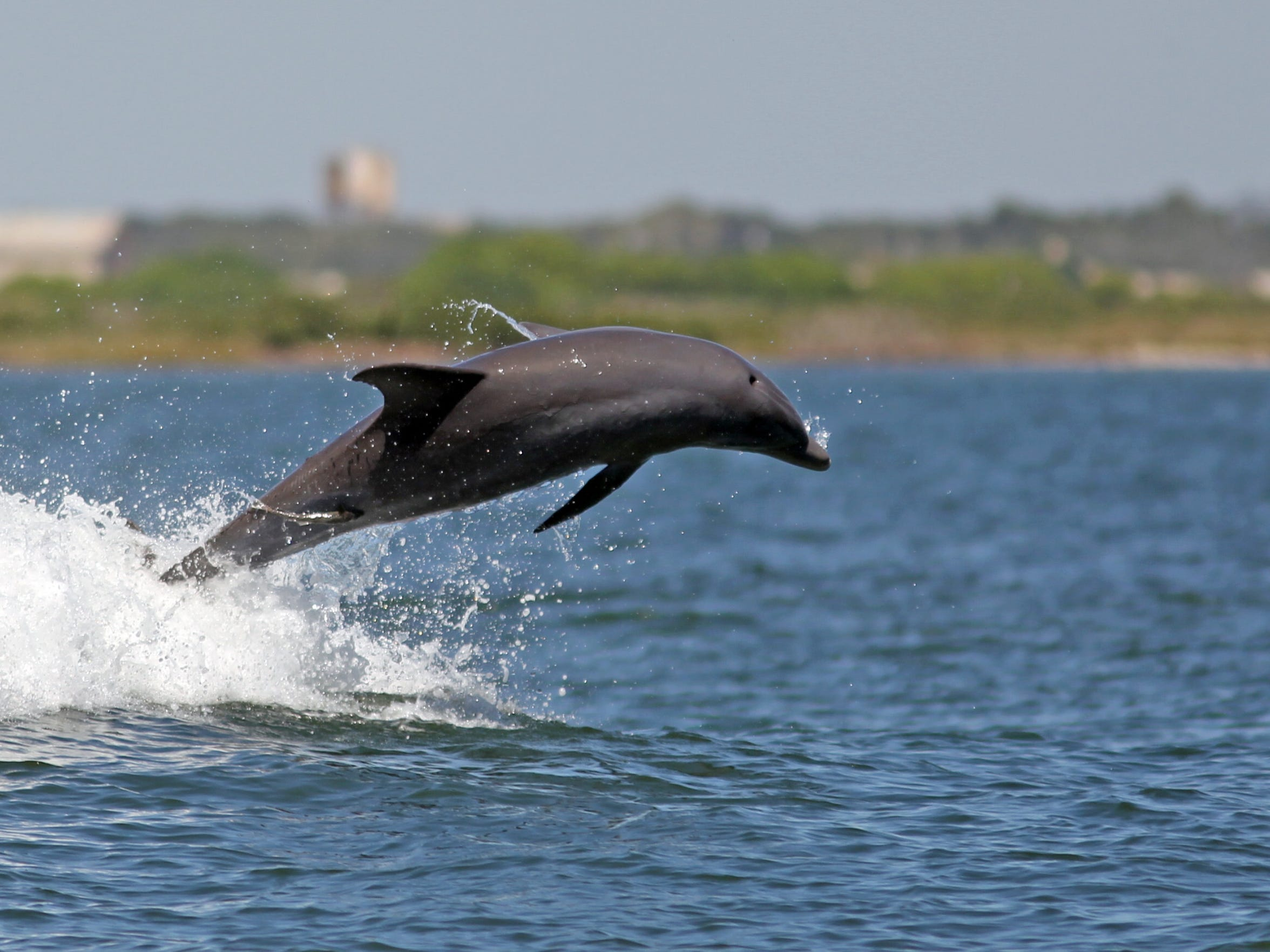 The dolphin display was a pleasant distraction during a boat ride to Dagger Island.