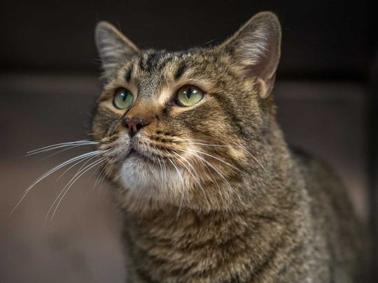 Tiger - Male (neutered) domestic short hair, adult. Intake date:1/29/2018