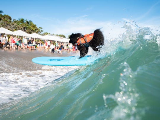Surf's up! ... And so, too, were the many dogs who