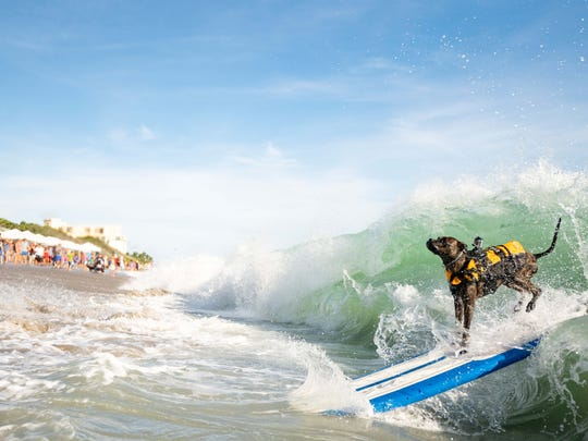 """This """"furry friend"""" enjoys the spray of his wave caught"""