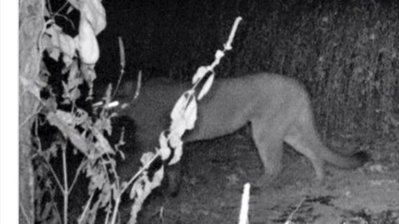 Trail cam image of Tennessee  mountain lion.