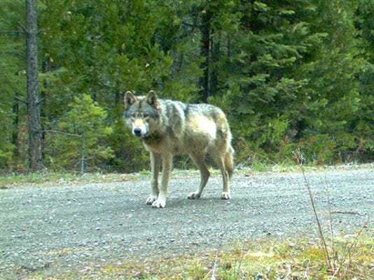 Wandering Wolf _Roem.jpg
