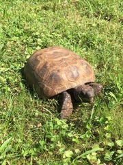 After vanishing from her Claymont backyard inJune, Sheldon the missing tortoise was reunited with her owners on Aug. 1.