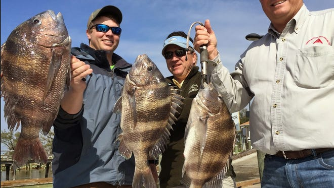 Sheepshead have been vulnerable when weather permits fishing.
