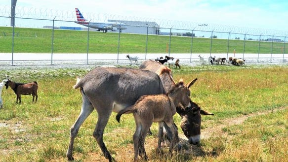 Burros on duty at O'Hare now include Butch, who was