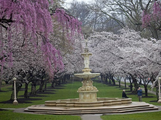 Cherry blossoms start to bloom at the fountain in Brandywine State Park.