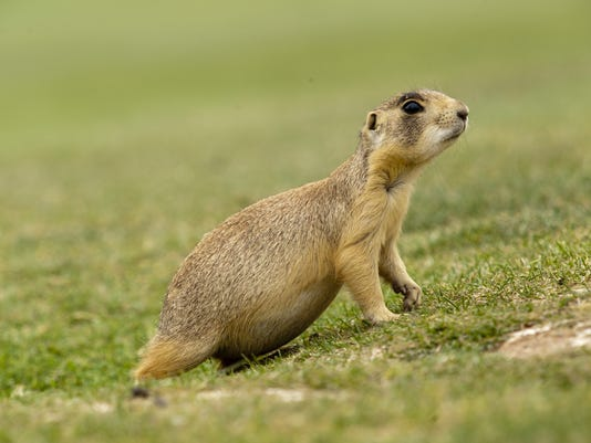 prairie dogs03.jpg