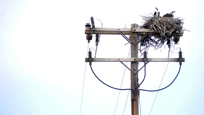 Osprey sometimes nest on top of utility poles, which can lead to power outages and fires in their nests, said A&N Electric Cooperative serviceman Peter Zach, who recently helped rescue a baby osprey from an electrical fire in Machipongo.