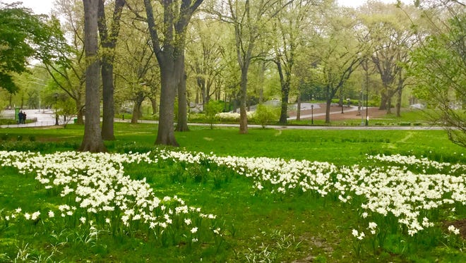 Spring flowers in Central Park on a rainy day.