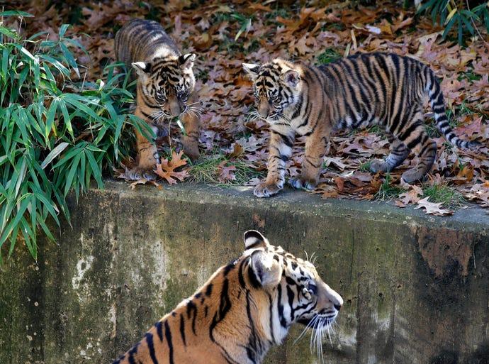 Bandar and his sister, Sukacita, two Sumatran tiger cubs, watch their mother, Damai, enter the tiger enclosure during the cubs' public debut at the National Zoo in Washington on Nov. 18.