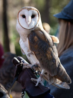 Twiggy, the barn owl at St. Francis Wildlife, is an efficient rodent hunter.