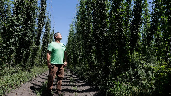 Bill Arendt stands amongst a section of the 22 acres of hops growing on his farm in Nekoosa, Wis.. Hops are a new venture for Arendt, who also has 150 acres of cranberries. Sarah Kloepping/USA TODAY NETWORK-Wisconsin