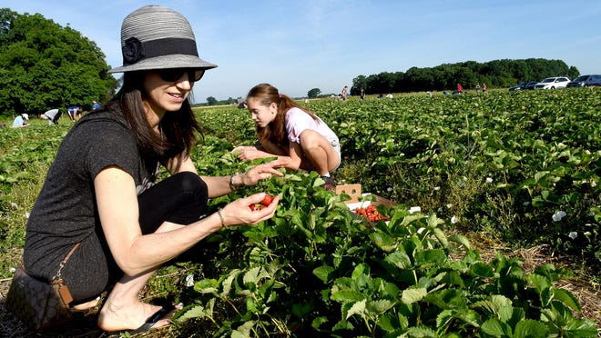 Cara Condon of Adrian, picks the All Star strawberries with her daughter Ashley, 11, at the Whittaker's Berry Farm in Ida Sunday. Monday was the last day the berry farm was open.