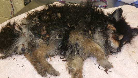 A Pomeranian-mix dog was found covered in frost in a garbage can.