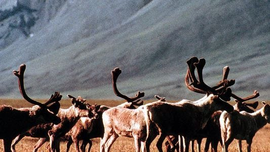 This undated photo shows caribou grazing inside the Arctic National Wildlife Refuge, Alaska.
