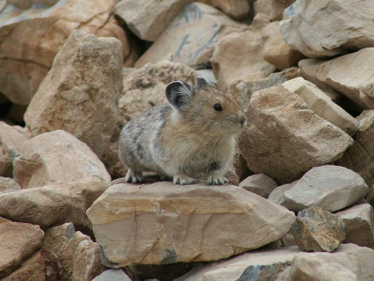 Pikas are one of the species volunteers survey through Glacier's Citizen Science Program.