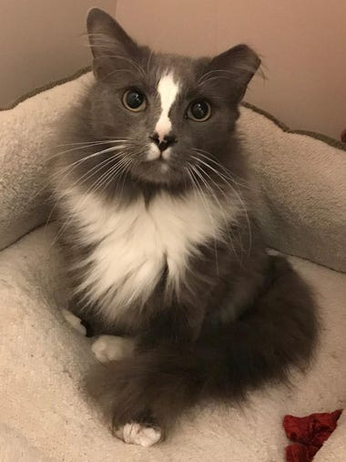 Thumper is a 3-year-old Maine Coon mix boy. His elderly
