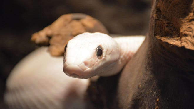 A white ball python, per Getty Images.