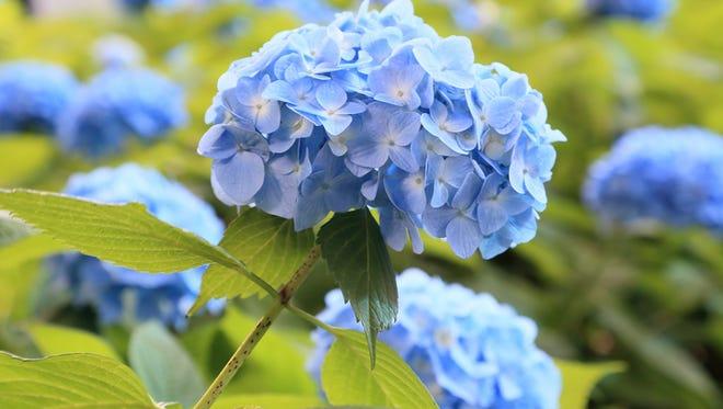 Hydrangea of kamakura japan