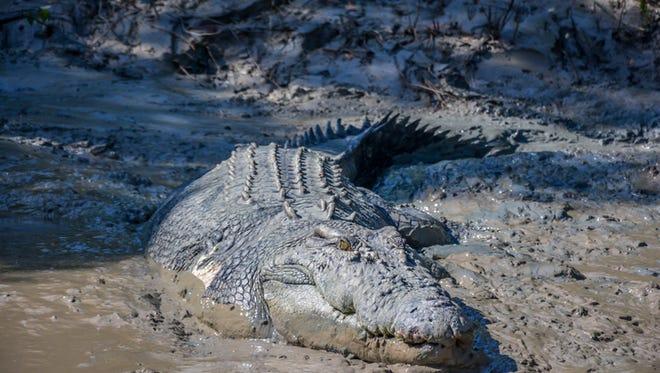 Stock image of crocodile on the  Adelaide River, Kakadu National Park, Darwin, Australia.