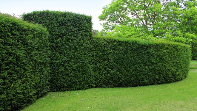 A clipped English yew hedge