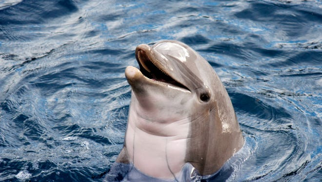 Head of  dolphin  with an open mouth in the blue water