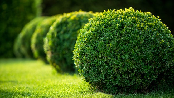 Lawn with hedges