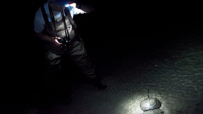 Volunteer leader Dennis Bartow finds a pair of mating horseshoe crabs wading in the brink at James Farm Ecological Preserve. Inset: Bartow holds up a male crab.