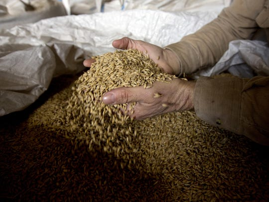 Ken Migliorelli shows off dried barley before it is malted, at his family's farm in Red Hook, N.Y. Migliorelli, who owns the fruit and vegetable farm where From The Ground brewery is located, said his well-draining sandy soil is ideal for growing malting barley.