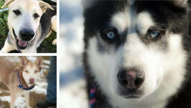 Sled dogs from Free Spirit Siberian Rescue will be among the attractions at the Oak Creek Winter Festival Saturday, Feb. 17, at Drexel Town Square in Oak Creek.
