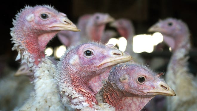 In this file photo, turkeys are pictured at a turkey farm near Sauk Centre, Minn. A dangerous strain of avian influenza has turned up in turkey flocks in Arkansas, Minnesota and Missouri. The disease is carried by wild waterfowl, and authorities are trying to determine how the commercial flocks became infected.