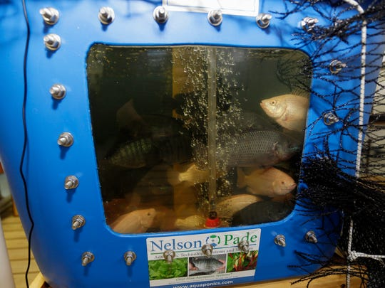 Farm raised Tilapia look out a clear window in a tank at the Lake Orchard Farm B&B and Aquaponics near Haven Thursday, Jan. 14, during a tour of the farm held for people attending the 10th Annual 2016 Wisconsin Local Food Summit at Blue Harbor in Sheboygan.