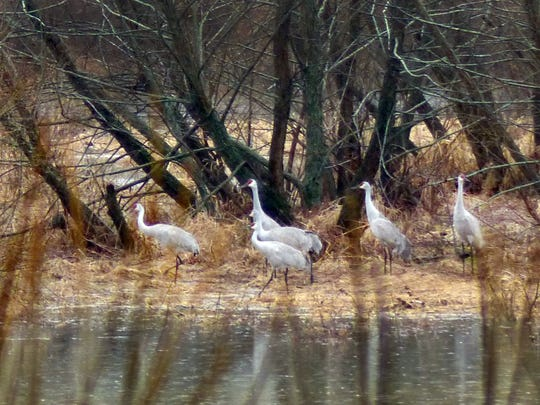 Sandhill cranes on a farm in Swoope.