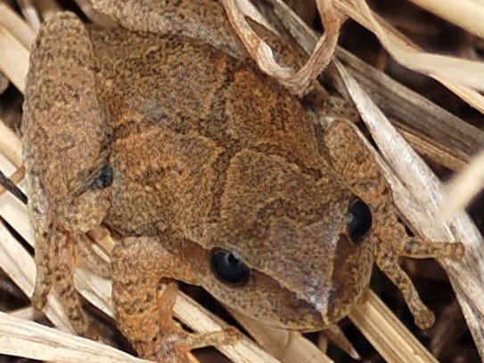 One of the loudest local frogs, the spring peeper is one of the first frogs to emerge from vernal ponds in the spring.