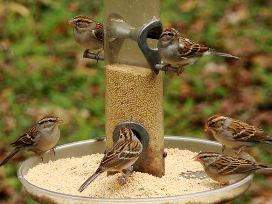 Chipping sparrows eating white proso millet.