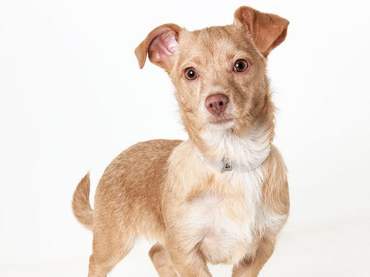 Nick, 3-month-old male terrier mix puppy. No. 99535.