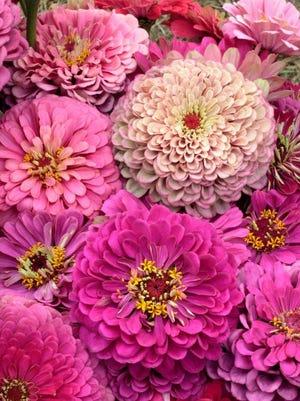 Zinnias are the workhorse of the summer flower garden.