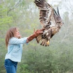 Bald Eagle named Mardi Gras released and soars over Milton