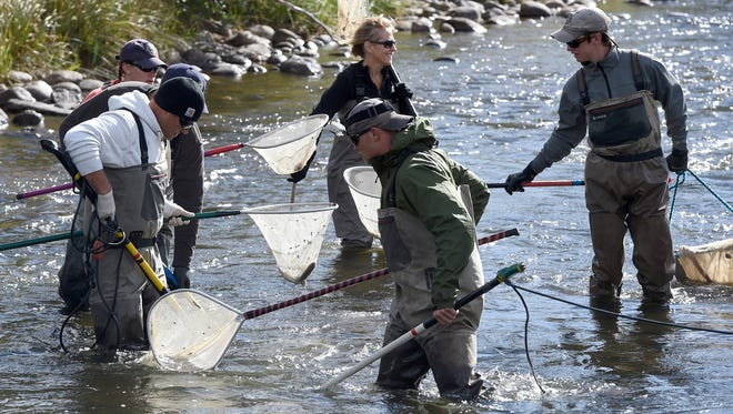 Colorado Park and Wildlife employees use nets and electric probes to gather trout at the Big Thompson River Tuesday Sept. 30, 2014. CPW officials say a March chemical spill has killed thousands of fish in the river.