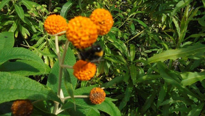 Pictured is a form of the buddleia shrub, called Buddleia globosa, which was growing and blooming on a garden tour in Ireland, in June; there is also a bumblebee at work.