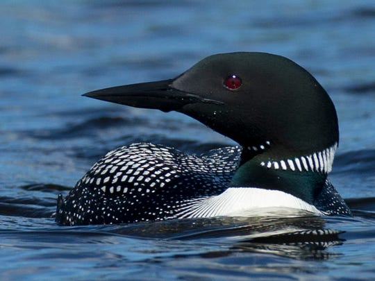 A loon on Rest Lake in Manitowish Waters.