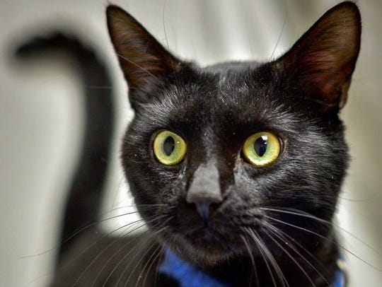 Paulie D - Male domestic short hair, adult. Intake