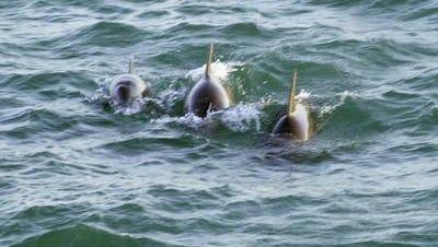 Bottlenose dolphins are pictured in the Indian River Lagoon.