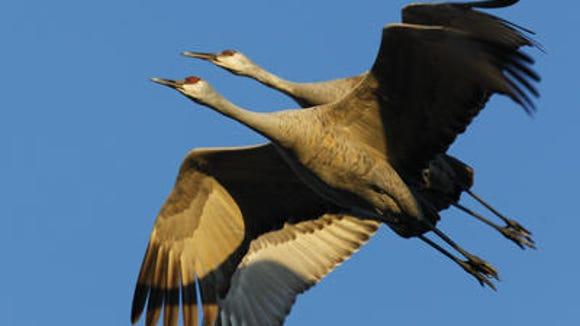 Sandhill cranes pair over Hardin County in a past year.