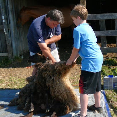 Bill and Samuel Steinhoff shear a sheep at Silver Maple