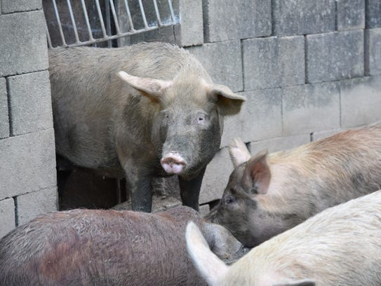 Pigs rest near a muddy grass area at a Sinajana ranch