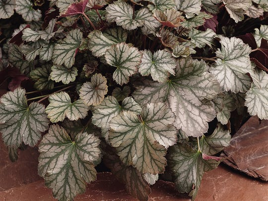The Heuchera plant also goes by the common name Coralbell.