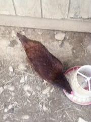 chickens 006